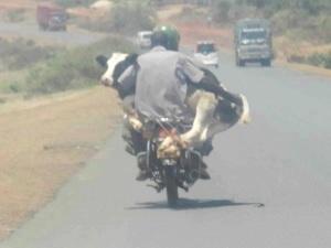 Cow on a Boda