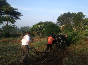 Ox plowing in Uganda